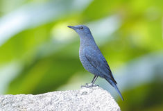 Blue Rock Thrush Monticola solitarius Stock Photo