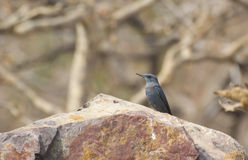 Blue Rock Thrush. (Monticola solitarius) on Rock in India royalty free stock photos