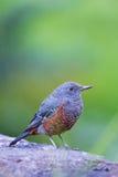 Blue Rock Thrush-Monticola solitarius Stock Photography