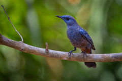 Blue rock thrush (Monticola solitarius) Stock Images