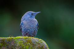 Blue rock thrush(Monticola solitarius) Royalty Free Stock Photography
