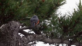 Blue Rock Thrush Monticola Solitarius Sitting on Tree Branch. Shot with a Sony a6300 fps29,97 FHD stock footage