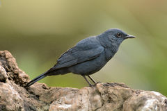 Blue rock thrush Stock Photography
