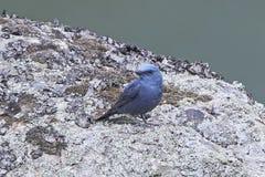 Blue Rock Thrush Monticola solitarius Stock Image