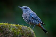 Blue rock thrush(Monticola solitarius) Royalty Free Stock Image