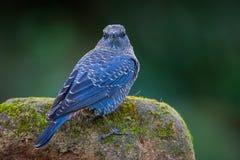 Blue rock thrush(Monticola solitarius) Stock Photo