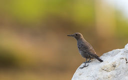 Blue Rock Thrush on Rock Royalty Free Stock Photography