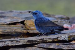 Blue rock thrush on rocks planks. Royalty Free Stock Image