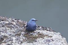 Blue Rock Thrush Monticola solitarius Royalty Free Stock Images