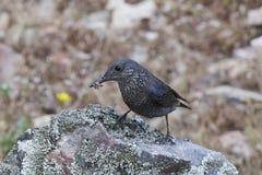Blue Rock Thrush Monticola solitarius Royalty Free Stock Photo