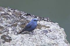 Blue Rock Thrush Monticola solitarius Royalty Free Stock Photography