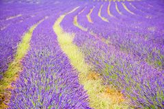 Blue romantic lavender field, Provence, France. Blue romantic lavender field, Provence in France royalty free stock images