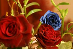 Blue Rose. In focus with a couple of red roses out of focus while the rest of the scene is also out of focus Stock Image