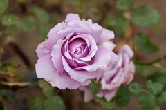 Blue rose. Rare varieties of roses open bud. View from above Stock Photo