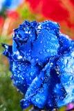 Blue rose Stock Image