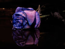 Blue rose. Mirror image with blue rose Stock Photography