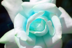 Blue rose. Manipulated in photoshop stock photography