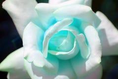 blue rose Fotografia Stock