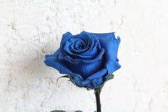 blue rose zdjęcie stock