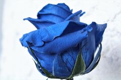 blue rose Obrazy Royalty Free