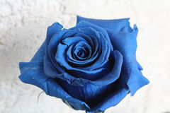 blue rose Zdjęcia Royalty Free