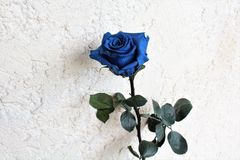 blue rose Obraz Royalty Free