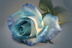 Blue rose. A single blue rose Stock Photo