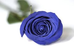 The Blue Rose Stock Photo