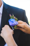 Blue Rose Boutonniere. Bridesmaid pinning boutonniere to groom's jacket stock image