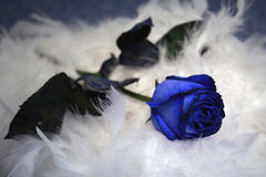 Blue rose on the choker. Rose with choker on the blue background royalty free stock photography