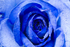 Blue Rose with Dew Royalty Free Stock Images