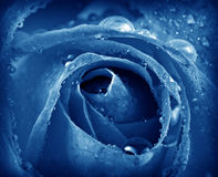 Blue rose with dew drops Stock Image