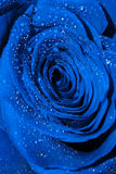 Blue Rose with Droplets Stock Photo