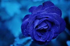 Blue, Rose Family, Rose, Flower Royalty Free Stock Photos