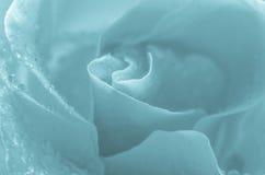 Blue rose flower macro Royalty Free Stock Images