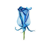 The blue rose flower on white background, watercolor illustration. In hand-drawn style Vector Illustration