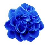 Blue rose flower on a white isolated background with clipping path.Closeup no shadows. Nature Royalty Free Stock Images