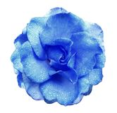 Blue rose flower  on white isolated background with clipping path  no shadows. Rose with drops of water on the petals. Closeup. Nature Royalty Free Stock Image