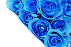 Blue rose flowers. On white, petal background royalty free stock image