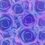 Blue rose flowers Royalty Free Stock Images