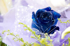 Blue rose in gift flowers. With some small shinning white things Stock Image