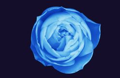 Blue rose isolated on deep navy background. Beautiful, voluptuous, sensual petals, on deepest blue background Royalty Free Stock Photos