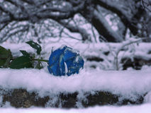 Blue rose lays on snow - a symbol of loneliness. Rose flower Royalty Free Stock Image