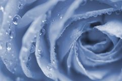 Blue rose macro Royalty Free Stock Photos
