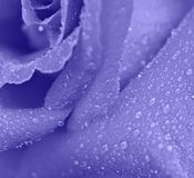 Blue rose macro Royalty Free Stock Photography