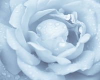 Blue rose Royalty Free Stock Photo
