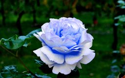 Blue rose in my garden Stock Photos