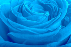 Blue rose petals as background Stock Images