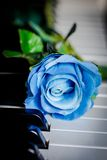 Blue rose on a piano Royalty Free Stock Photography