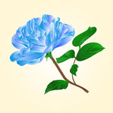 Blue  rose stem vector. Blue rose stem with leaves and blossoms vector illustration Stock Image
